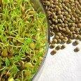 Зеленая гречка — польза, вред и противопоказания